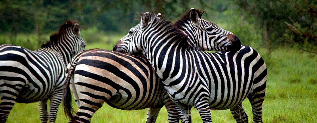 zebras lake mburo
